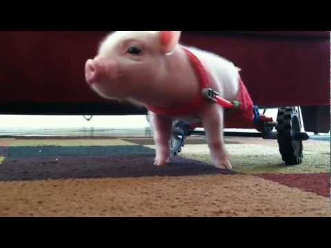 pig - Teaching a 10 day old pig to use a wheel chair made of toy parts.