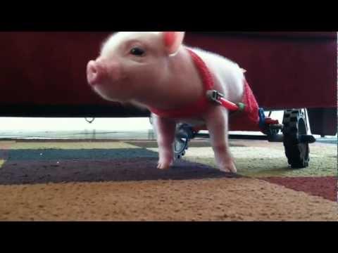 Den rullstolsbundne grisen