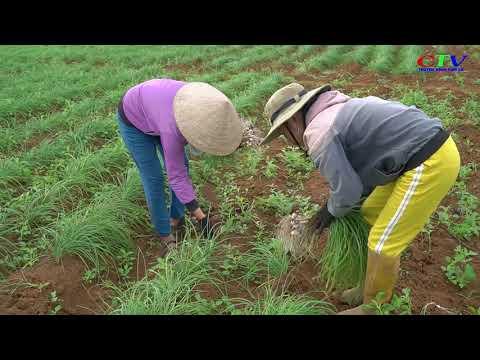 Trồng thử nghiệm thành công cây ném ở vùng Cùa