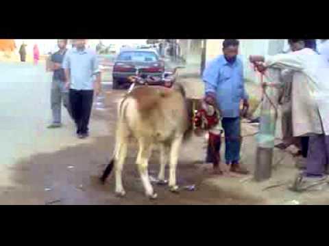 Funter Cow run before qurbani Kashif Villa cow (Danish)