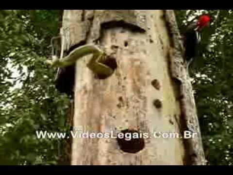Flagrante  Pica-pau X Cobra Cipó Verde