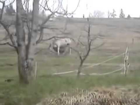 Aries knocks down horse (kojna je na tla vrgu)