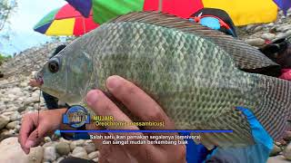 Video MANCING MANIA | MENCARI GURAME MONSTER DAN MUJAIR DI DALAM HUTAN (25/02/18) 1-3 MP3, 3GP, MP4, WEBM, AVI, FLV Januari 2019