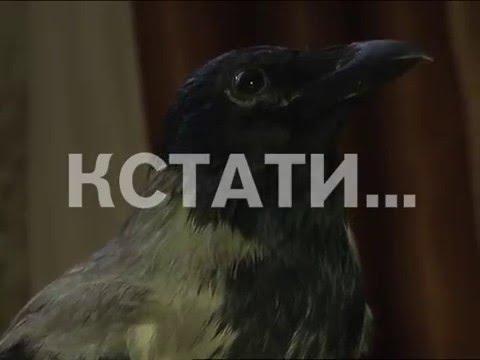 Ворону, полюбившую телепередачи, приручили жители Дзержинска (видео)