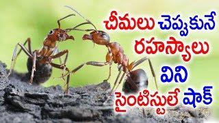 Video చీమలు చెప్పుకునే రహస్యాలు విని సైంటిస్టులే షాక్.! || How Ants Communicate With Each Other || Sumantv MP3, 3GP, MP4, WEBM, AVI, FLV Maret 2019