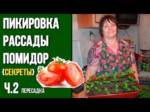 Как правильно пикировать помидоры пошаговое