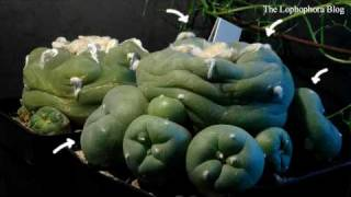 Lophophora diffusa cactus swelling with water, time-lapse video (HD version)