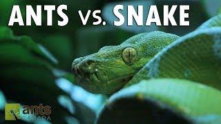 Ants vs. Snake