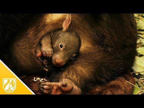Duisburg: Wombat-Baby
