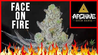 STRAIN REVIEW: 'Face on Fire' (Archive Seed Bank) by The Cannabis Connoisseur Connection 420