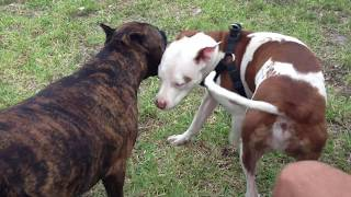 Video lil dog attacking a pitbull not a good idea!!! MP3, 3GP, MP4, WEBM, AVI, FLV Juni 2017