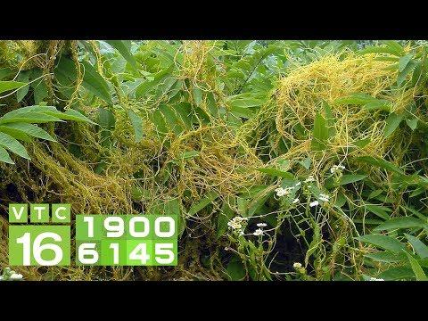 Tác hại của dây tơ hồng và cách diệt trừ I VTC16 - Thời lượng: 6 phút, 22 giây.