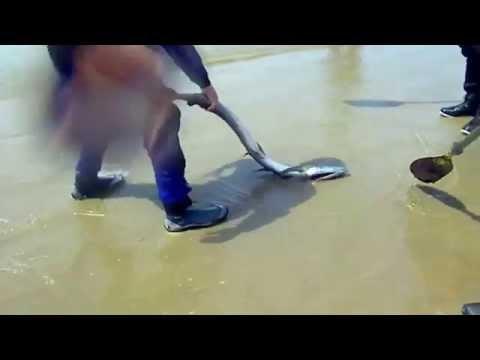 沙灘怪魚..沒人敢碰