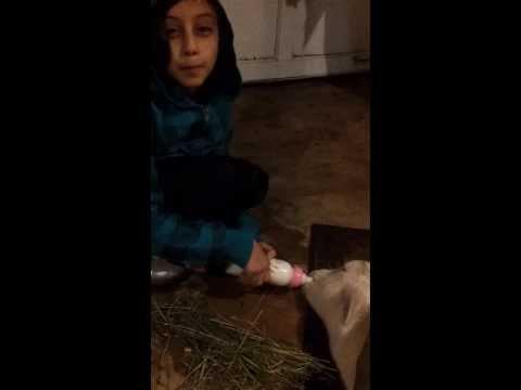 Kid feeding a sick  dying Goat
