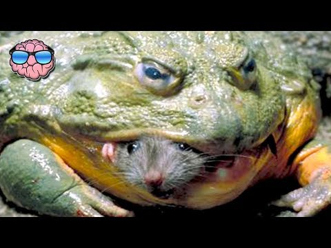 Top 10 Most DANGEROUS Frog Species In The World