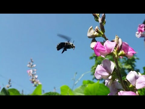 Insect pollinator on Canavalia rosea Flowers