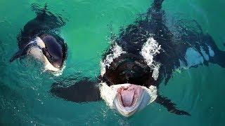 """הלוויתן הקטלן """"אורקה"""" הצליח לדבר כמו בני אדם"""
