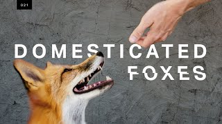 Video We met the world's first domesticated foxes MP3, 3GP, MP4, WEBM, AVI, FLV Oktober 2018