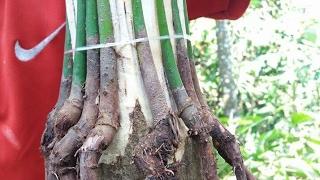 Video how to grafting root mango/himpit akar pohon mangga MP3, 3GP, MP4, WEBM, AVI, FLV Oktober 2018