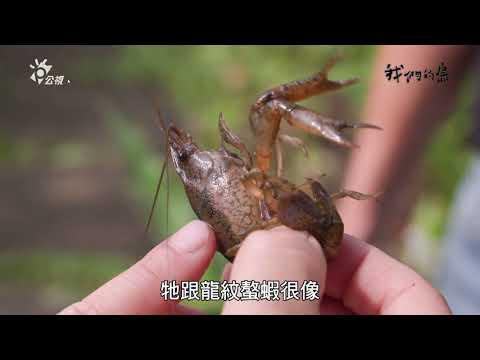 小心!大理石紋螯蝦來了(我們的島專題報導)