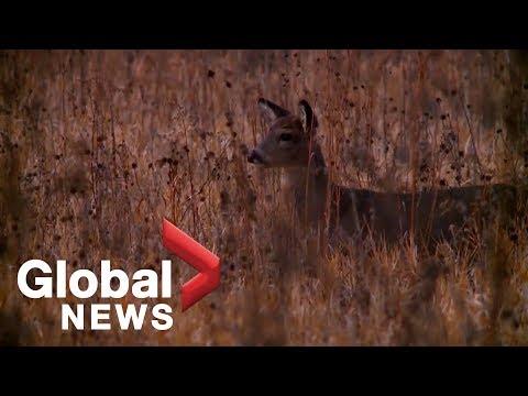 'It eats holes in the animals brain': 'Zombie Deer Disease' causing stir in U.S. midwest, SK, AB, QC