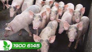 Chăn nuôi lợn | Nguyên nhân khiến lợn mắc bệnh phó thương hàn