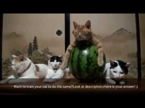 How To Train Cat [Cat Training at Home/Tips/Tricks/Guide/Tutorial]