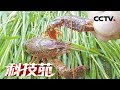 Download Video 【Agricultural Technology】20171205 | CCTV Agriculture