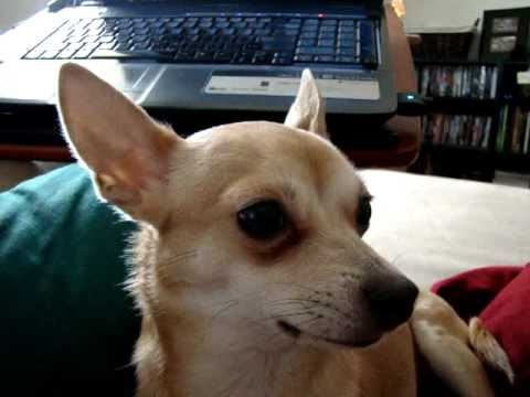 Chihuahua Howling at Lemurs Calling