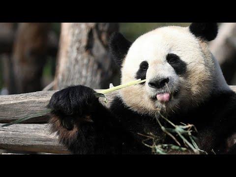 Berlin: Pandas »Schätzchen« und »Träumchen« flirten i ...