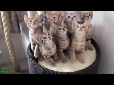 ржачные коты подборка видео о смешных котах коты вытворяют самое смешное видео от РrомоZР - DomaVideo.Ru