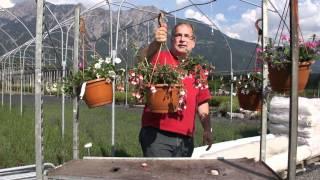 #403 Eine Ampelpflanze für einen schattigen Standort - Hängefuchsien