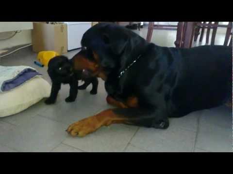 tenere coccole tra madre e cucciolo di rottweiler