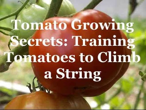 Tomato Growing Secrets: Training Tomatoes to Climb a String