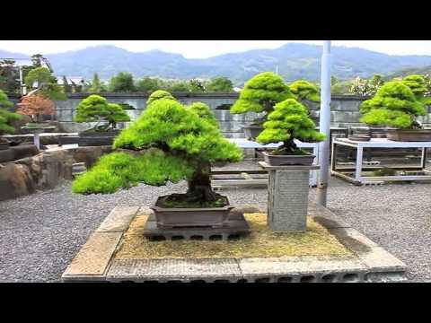 bonsai journey. Japan part 4