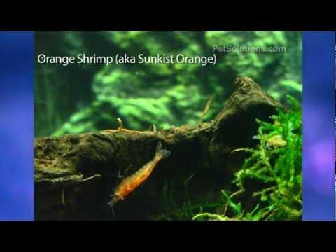 PetSolutions: Freshwater Shrimp Varieties