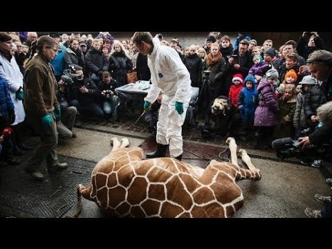 Zoo Denmark - A giraffe was killed at a Danish zoo and fed to lions in front of a group of small children on Sunday. The Copenhagen Zoo said that it had no choice over exe...