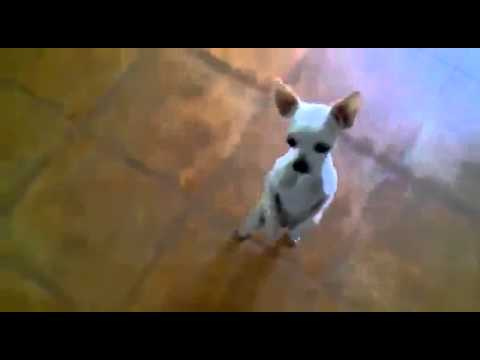 Best Dancing Chiwawa Funny Dog ~ Best Funny Animals 2014