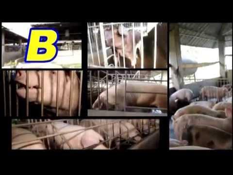 Introduction to Hog Raising -Unlad Kabuhayan Kasama ang B-MEG- B-MEG Premium Hog Raising