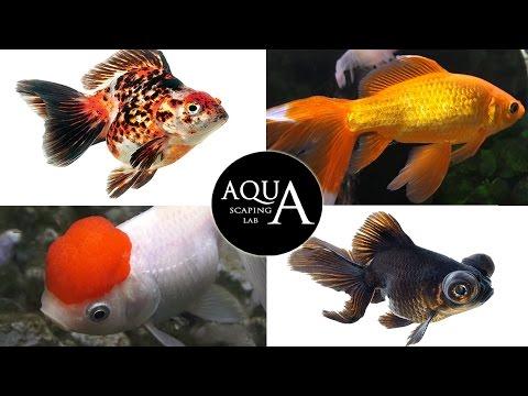 acquariofilia - pesci rossi