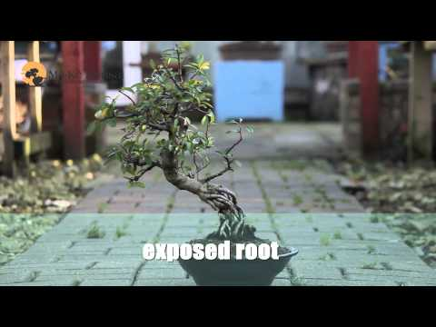 How to make bonsai tree Bonsai Styles for beginners