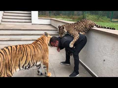 JAGUAR AND TIGER PLAYING WITH OWNER!
