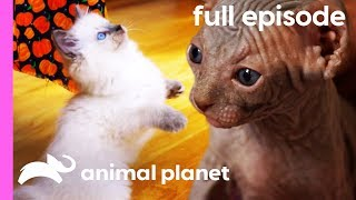 Ragdoll, Burmese, and Sphynx Kittens | Too Cute! (Full Episode) by Animal Planet