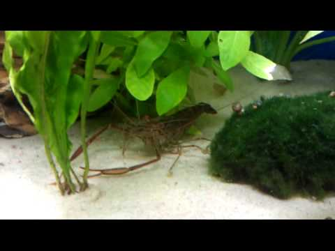 Long arm shrimp/freshwater prawn eating snails