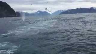 Mężczyzna filmuje żerujące stado mew! Nagle zaczyna krzyczeć podekscytowany gdy widzi co wynurz się z oceanu!