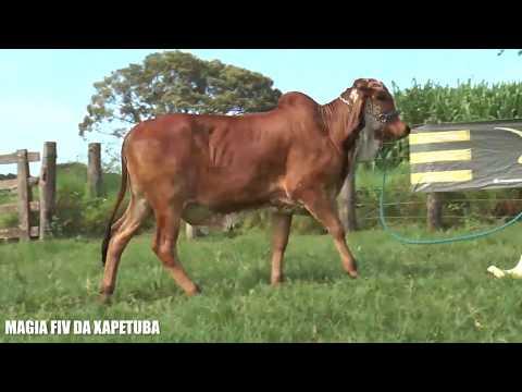 LT21 - MAGIA FIV DA XAPETUBA