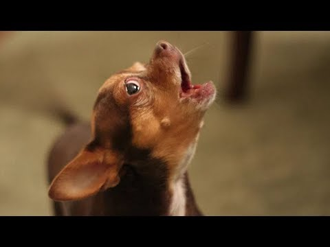 Hilarious Dogs Making Funny Noises Compilation