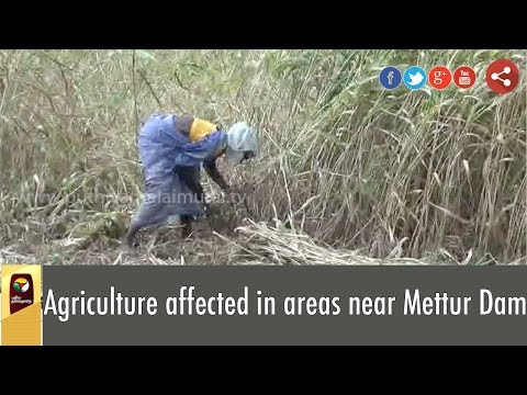 Agriculture-affected-in-areas-near-Mettur-Dam