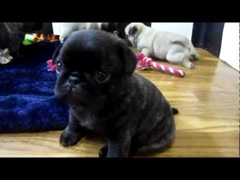 Cutest Pug Puppies Ever!