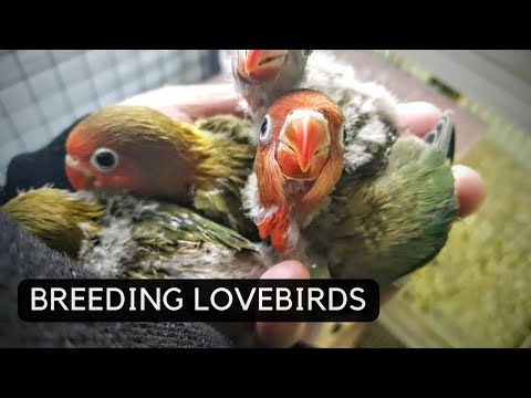 Breeding Lovebirds